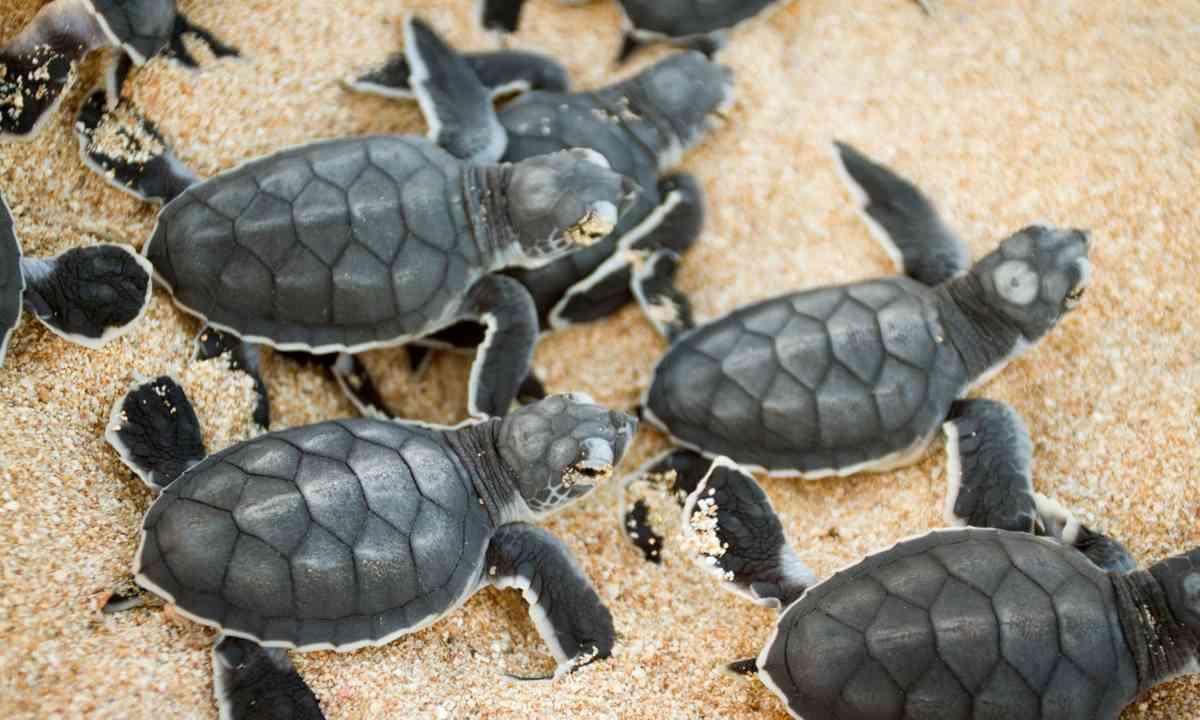 Turtle hatchlings (Dreamstime)