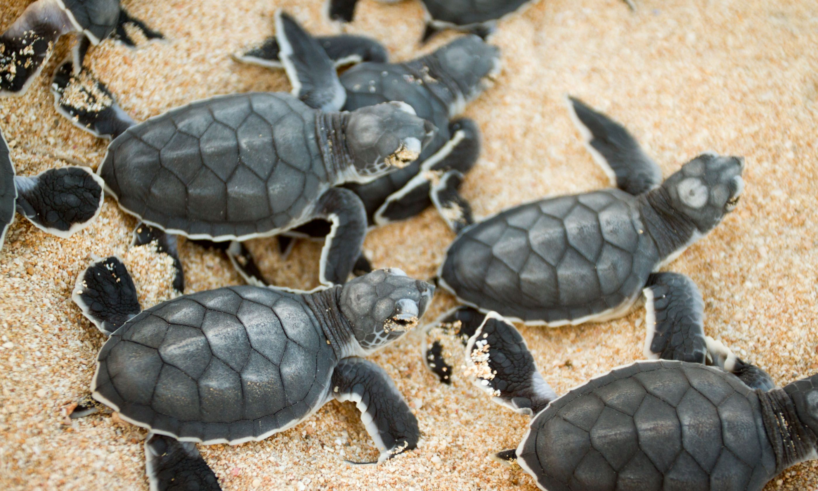 Turtle hatchlings (Dreamstime)