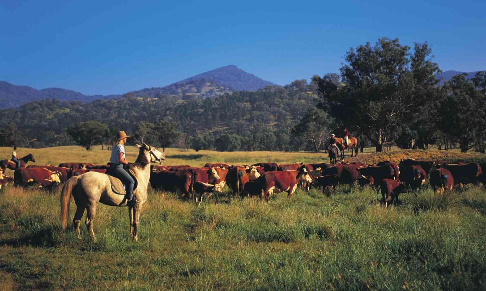 Cattle mustering, Karanilla Farmstay, Quirindi (North Sullivan/Destination NSW)