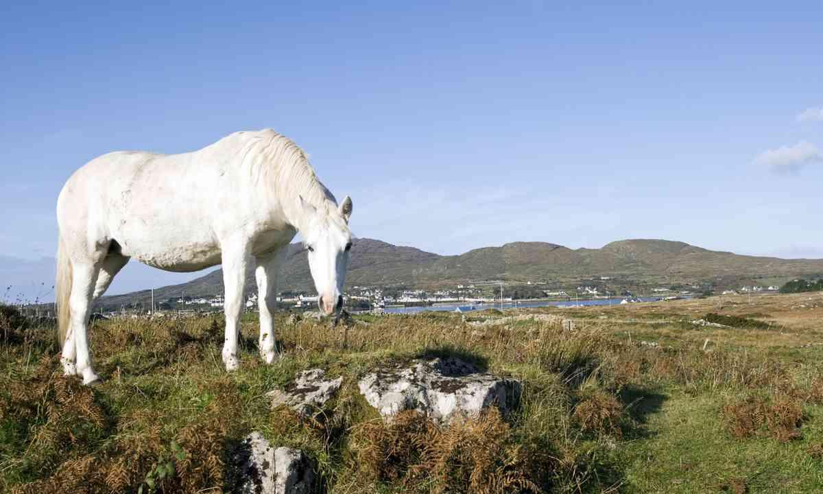 Connemara Pony (Shutterstock.com)