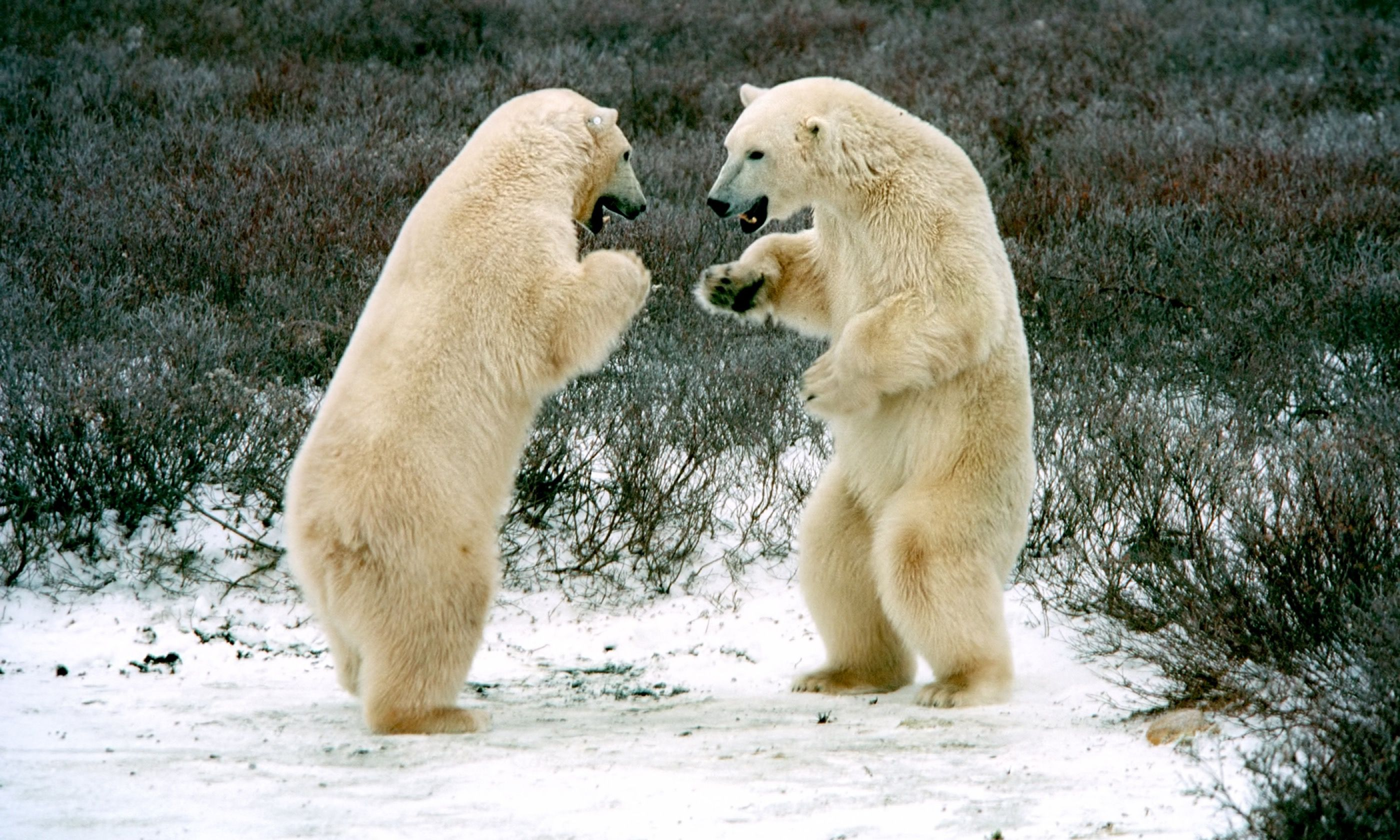 Polar bears in the tundra near Churchill (Shutterstock.com)