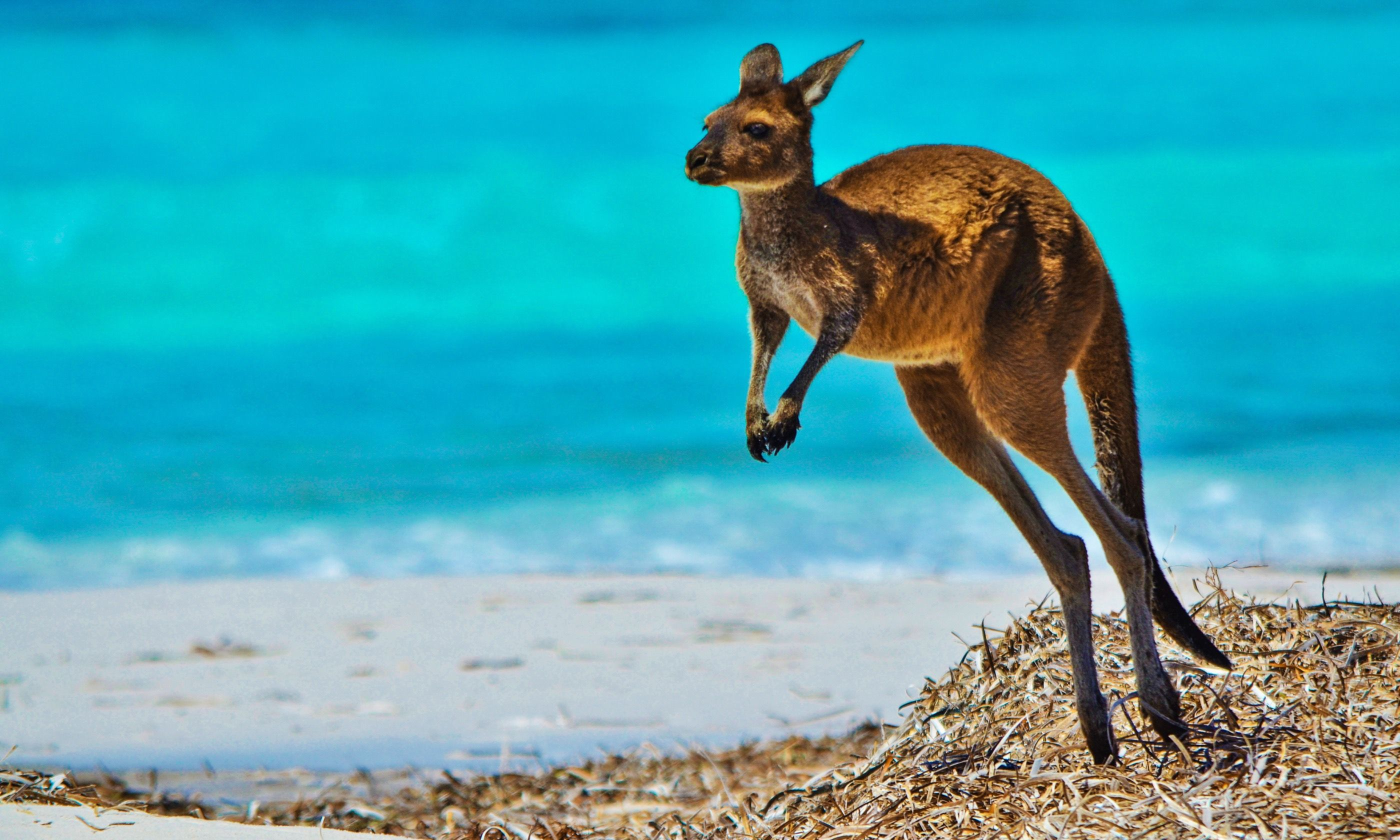 Kangaroo at Lucky Bay (Dreamstime)