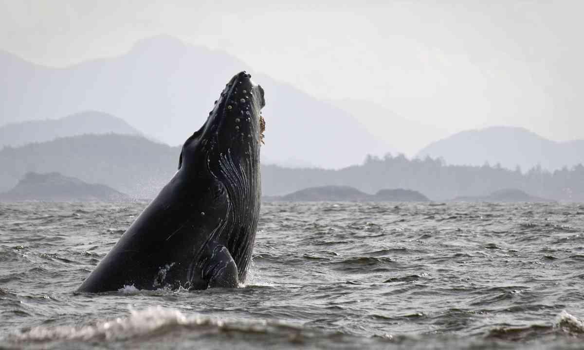 Humpback whale breaching in Canada (Shutterstock.com)