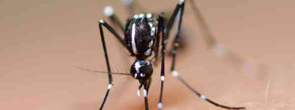 Aedes mosquito (Shutterstock: see credit below)