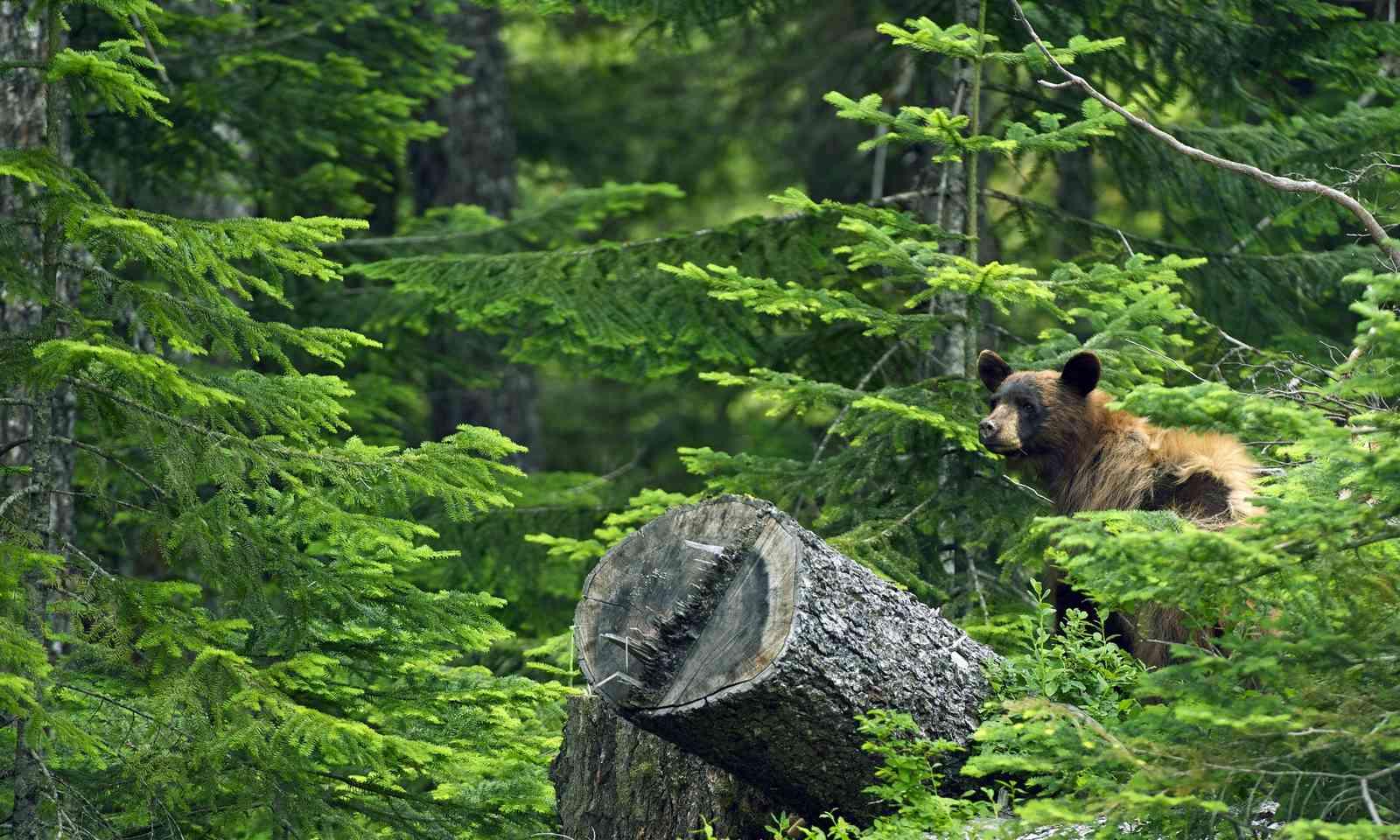 Bear in the wild in British Columbia (Shutterstock.com)
