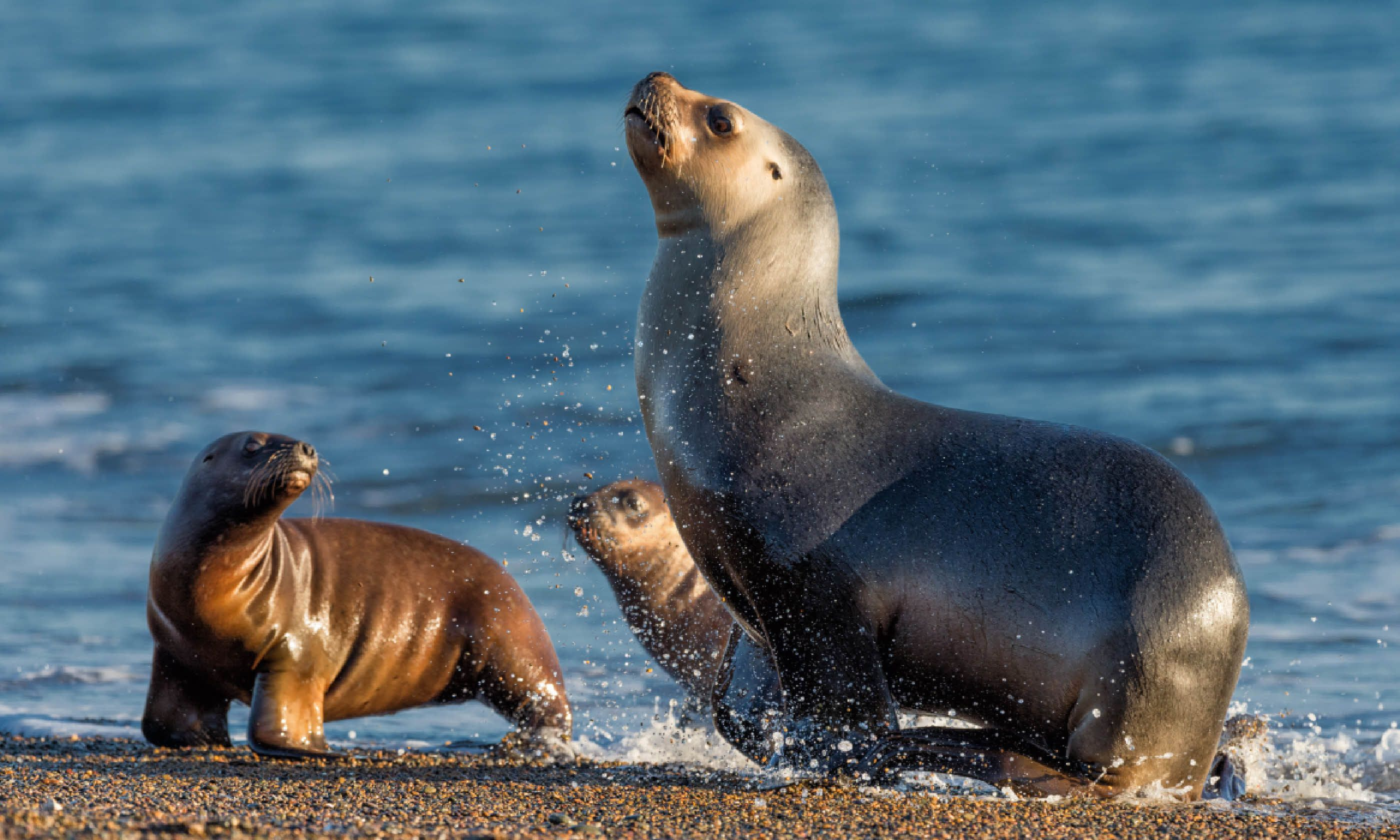 Patagonia sea lion running on the beach (Shutterstock)
