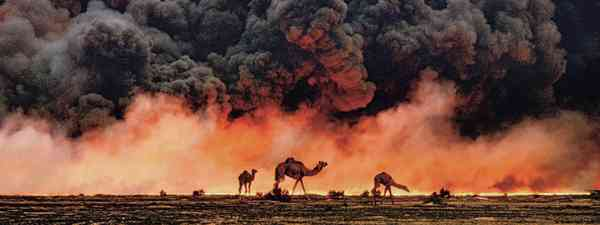 Camels, Kuwait (Steve McCurry: Supplied)