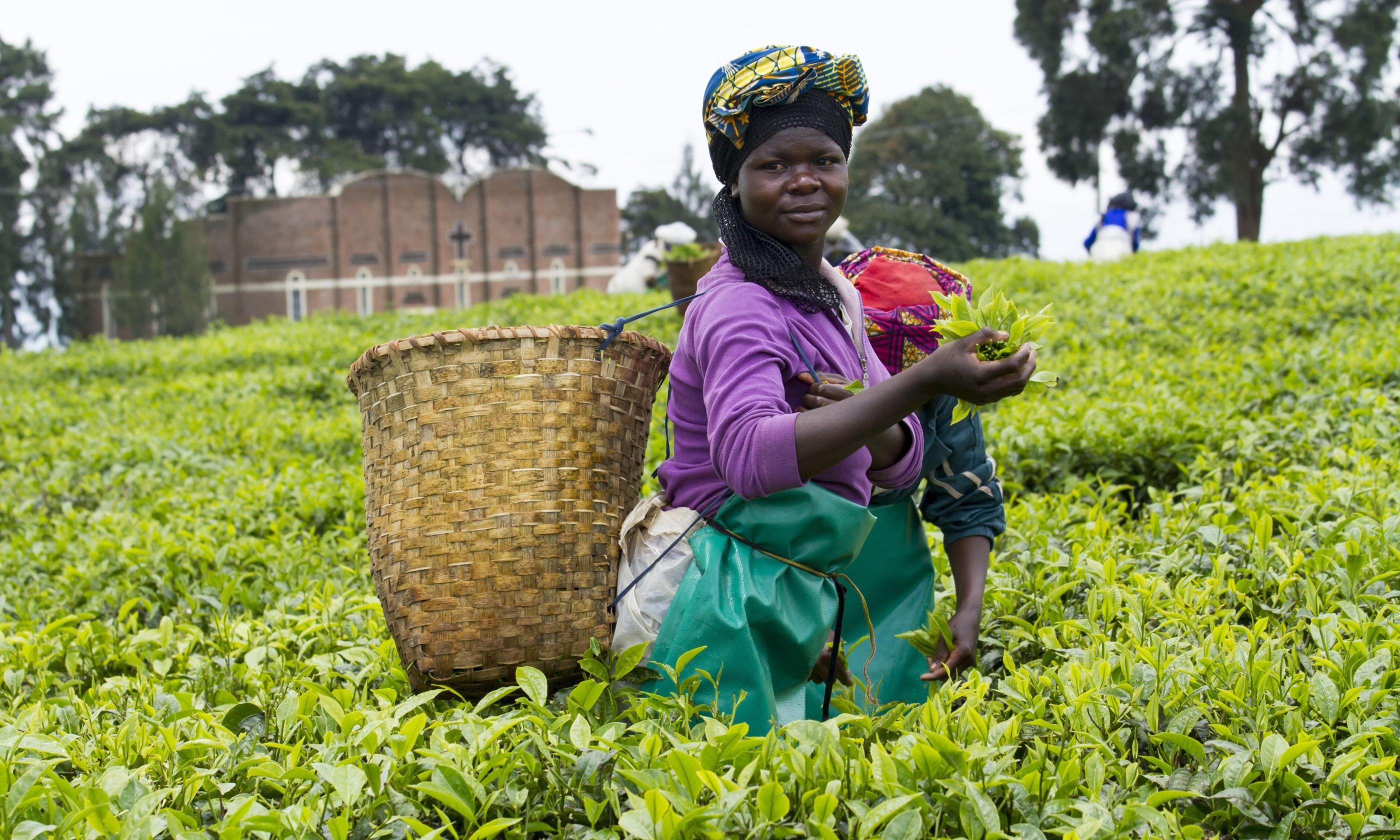 Tea plantation in Kinihira (Dreamstime)