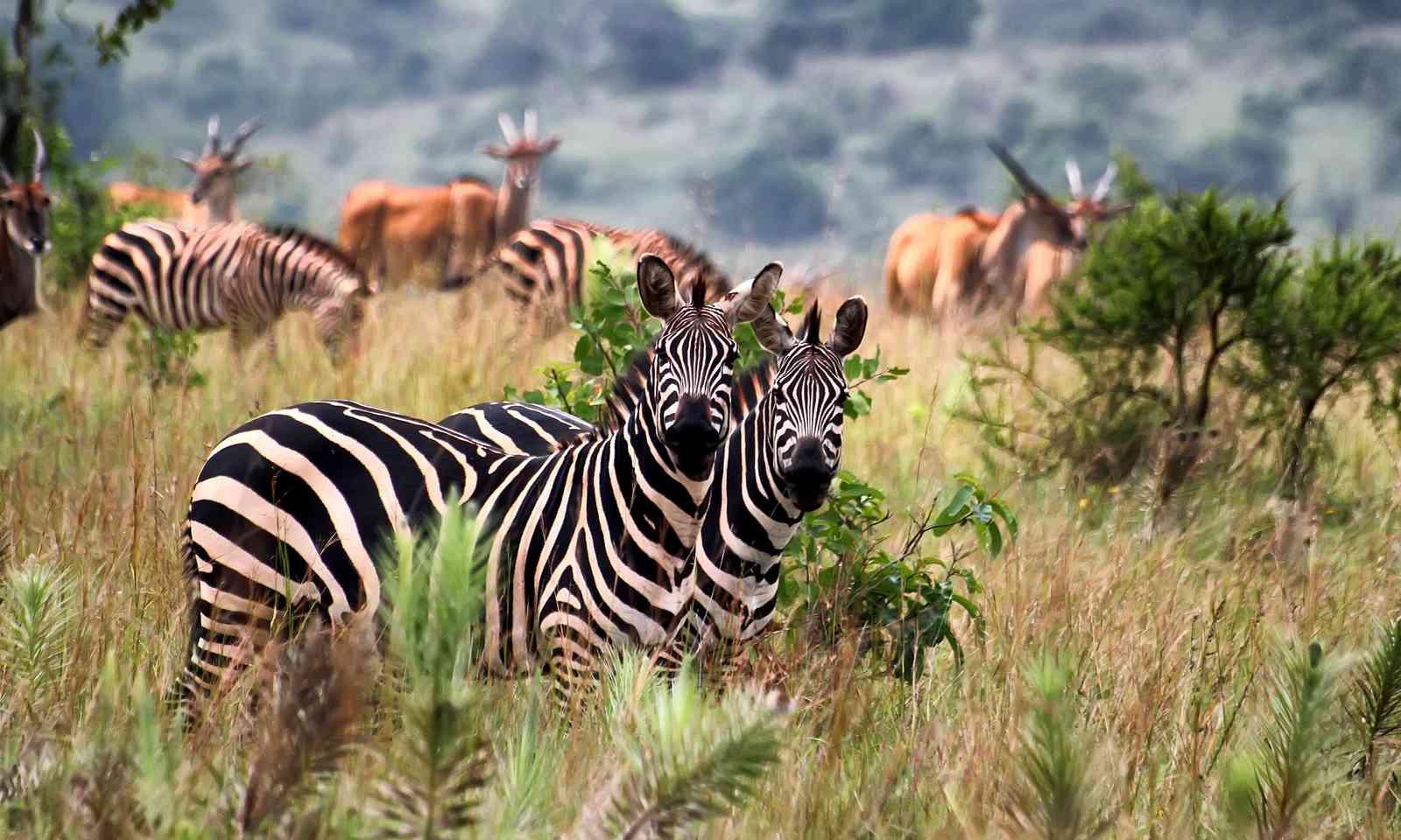 Wildlife in Akagera National Park (Dreamstime)
