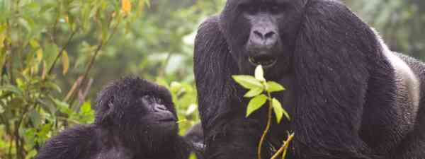 Mountain gorillas (Dreamstime)