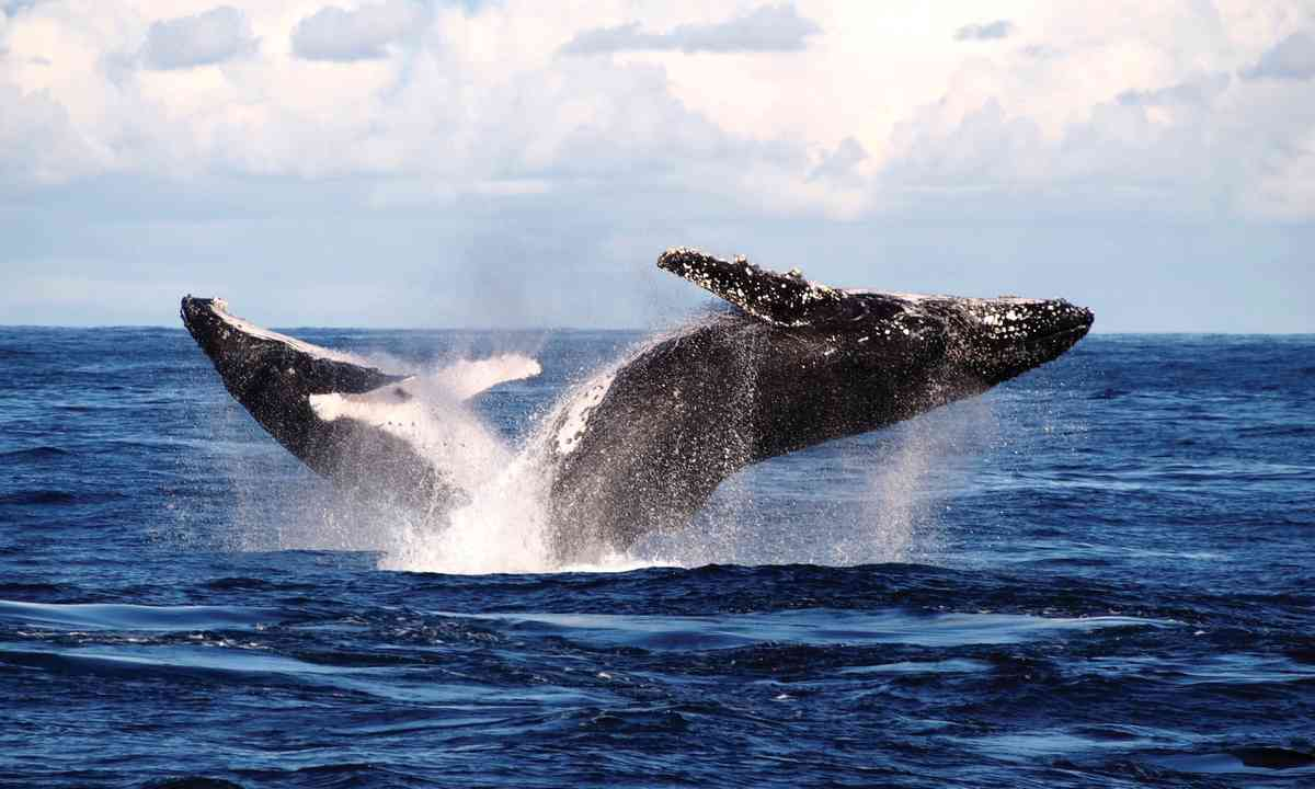 Whales breaching near Port Stephens (Stephen Murray/DestinationNSW)