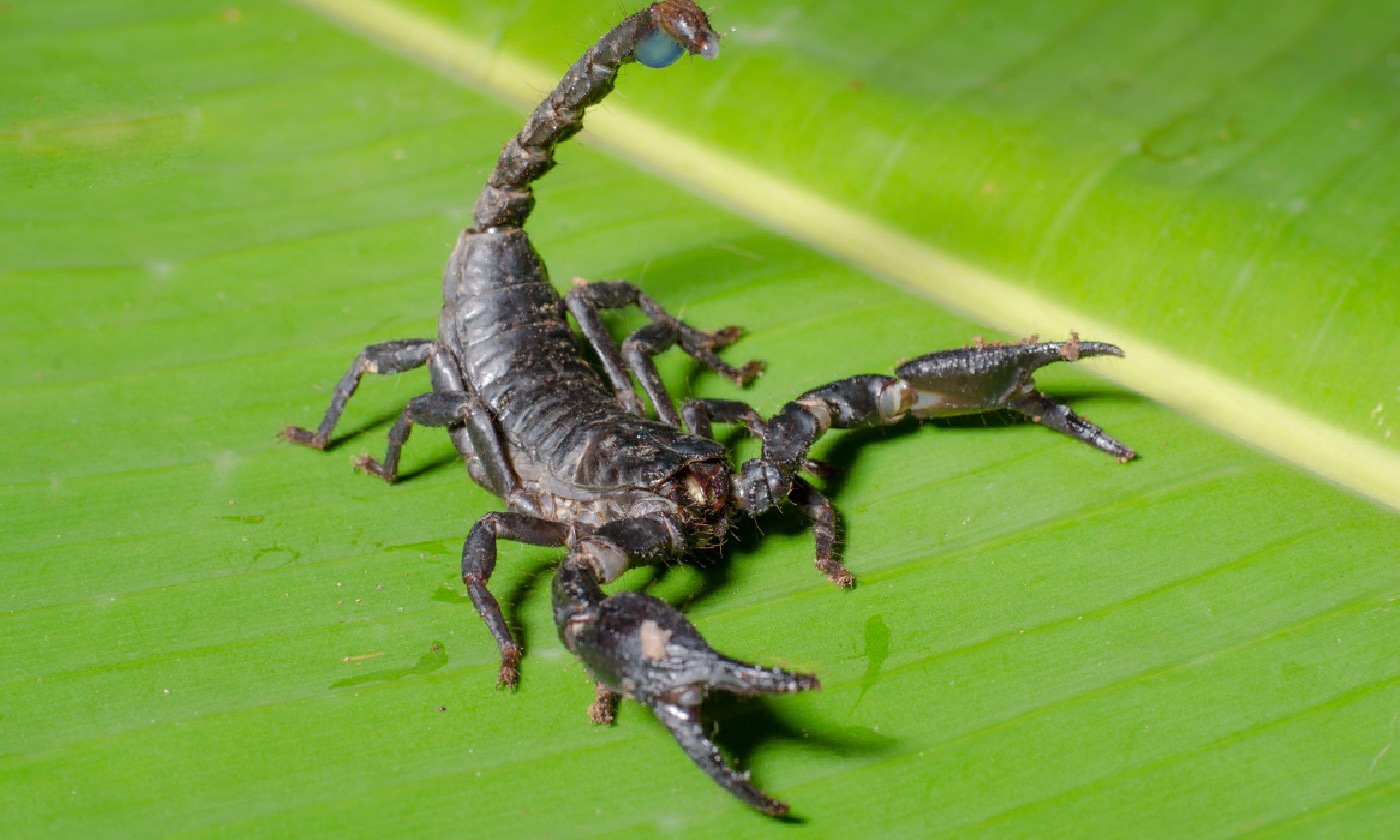 Scorpion Pandinus imperator (Shutterstock)