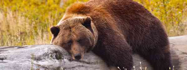 Bear relaxing on log (Shutterstock: see credit below)