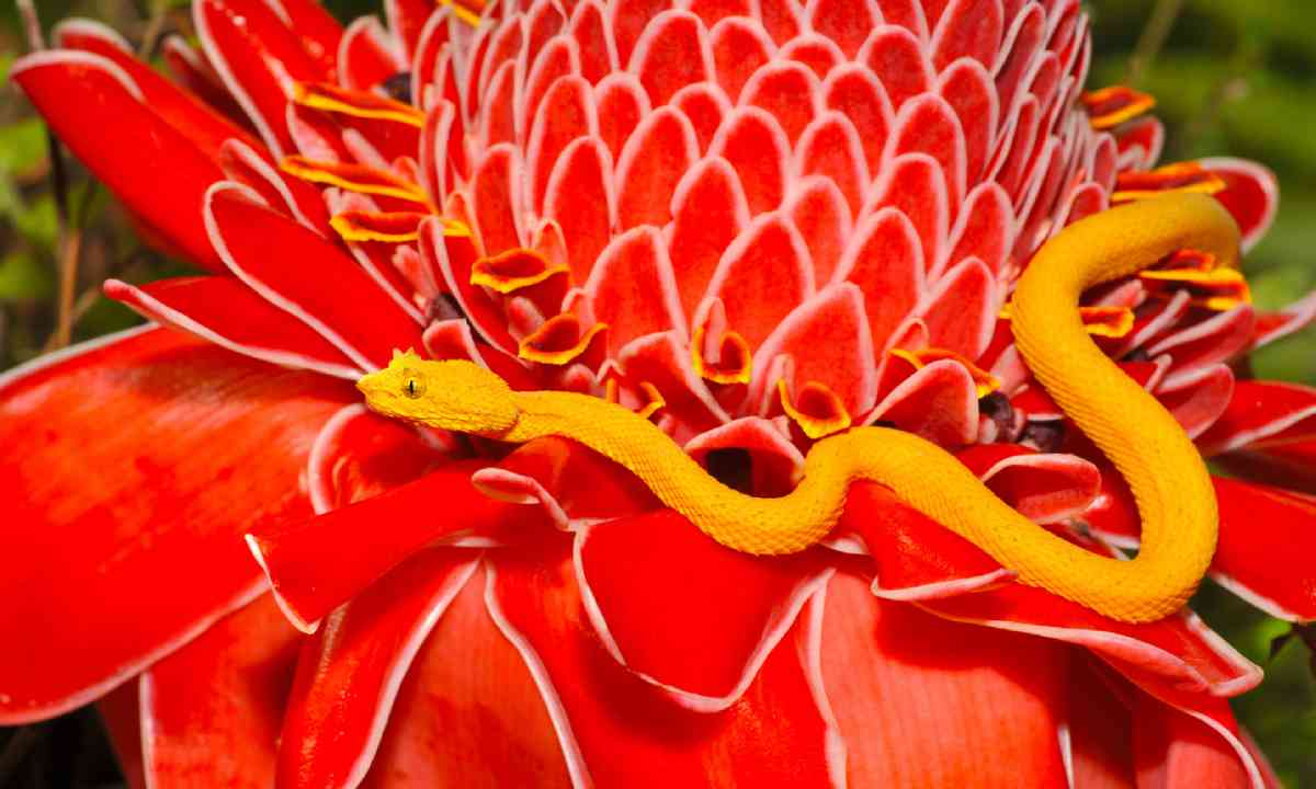Venomous yellow eyelash pit viper (Shutterstock)