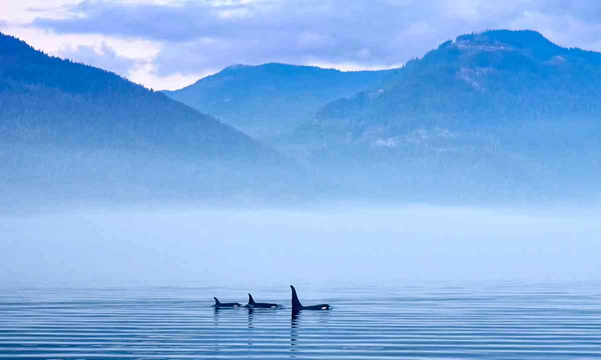 Killer whales near Vancouver Island