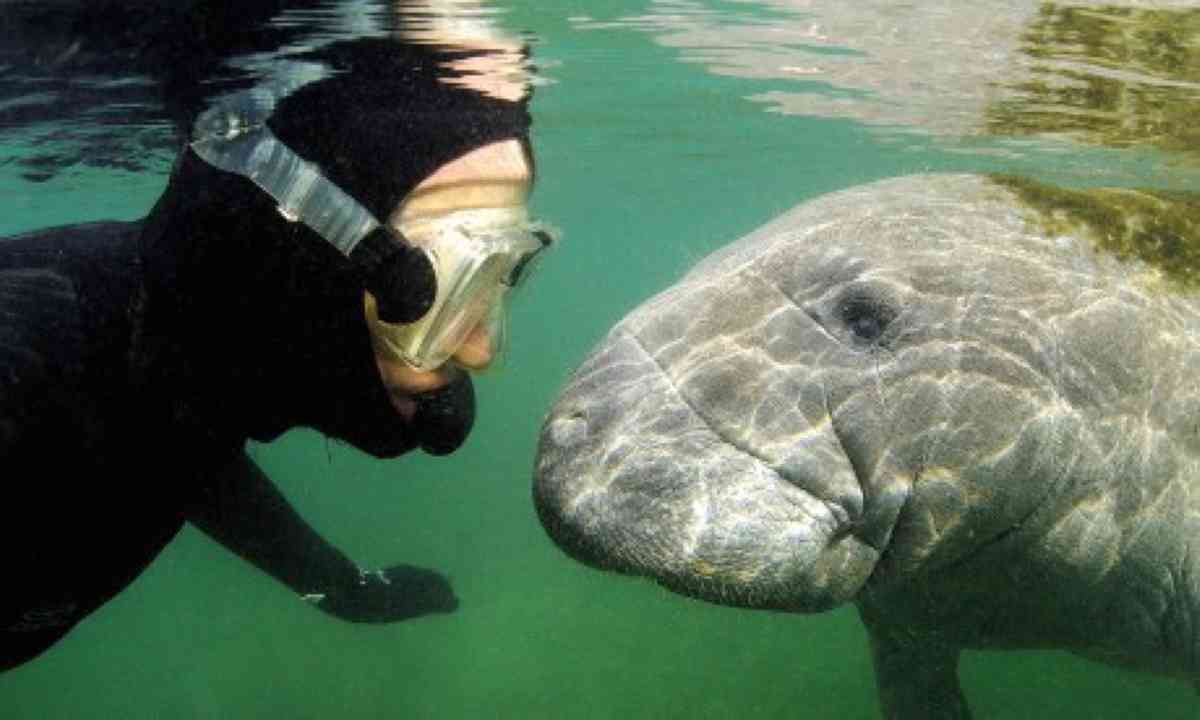 Mark Carwardine meets a Manatee (Mark Carwardine)