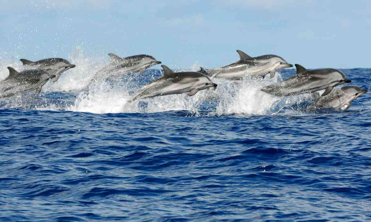 Pod of striped dolphins (Shutterstock.com)