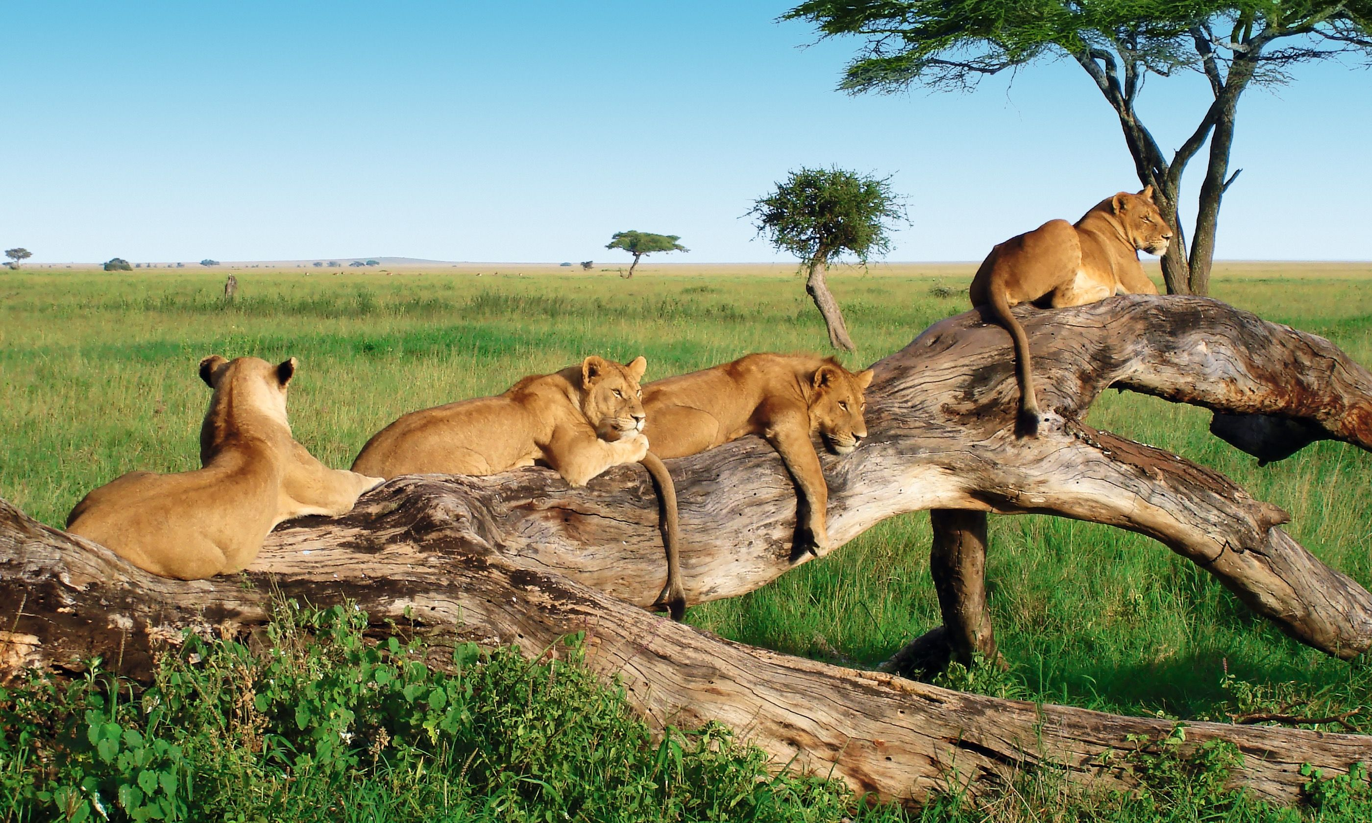 Lions lounging in the Serengeti (Mountain Kingdoms)