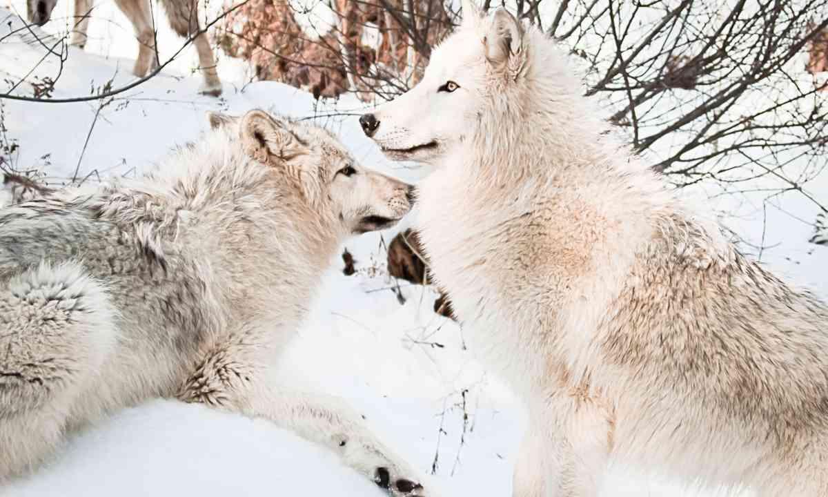 Arctic wolves (Dreamstime)