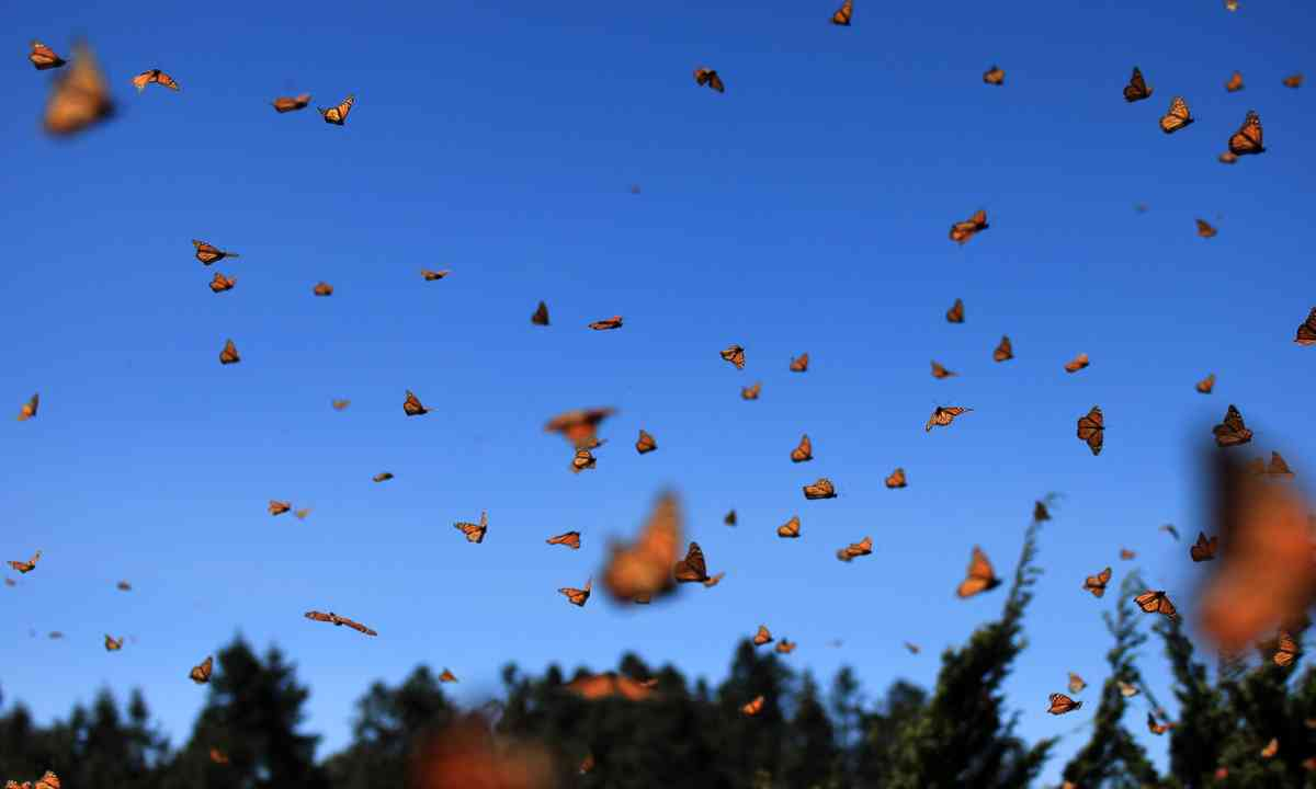 Monarch butterflies on the move in Mexico (Dreamstime)
