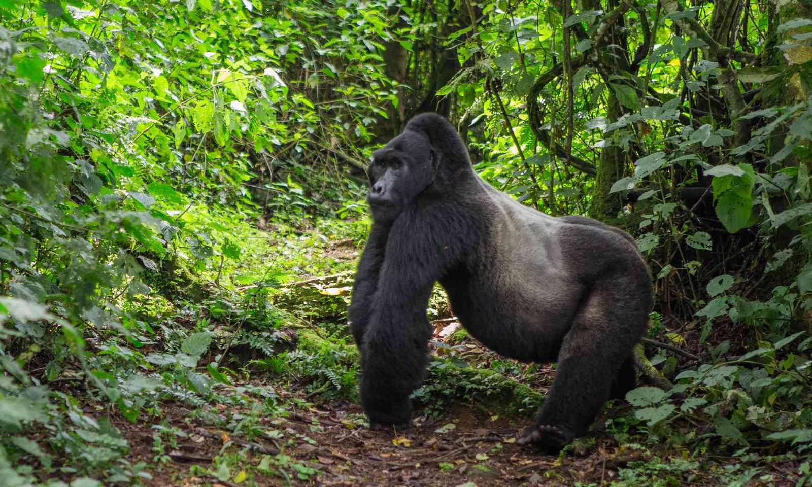 Mountain gorilla (Dreamstime)