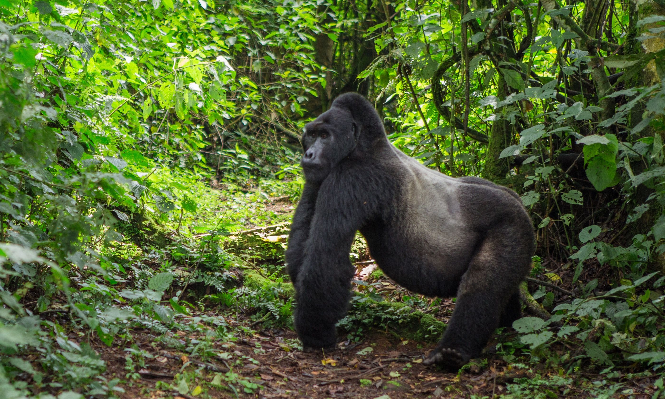 Mountain gorilla (Dreamstime)