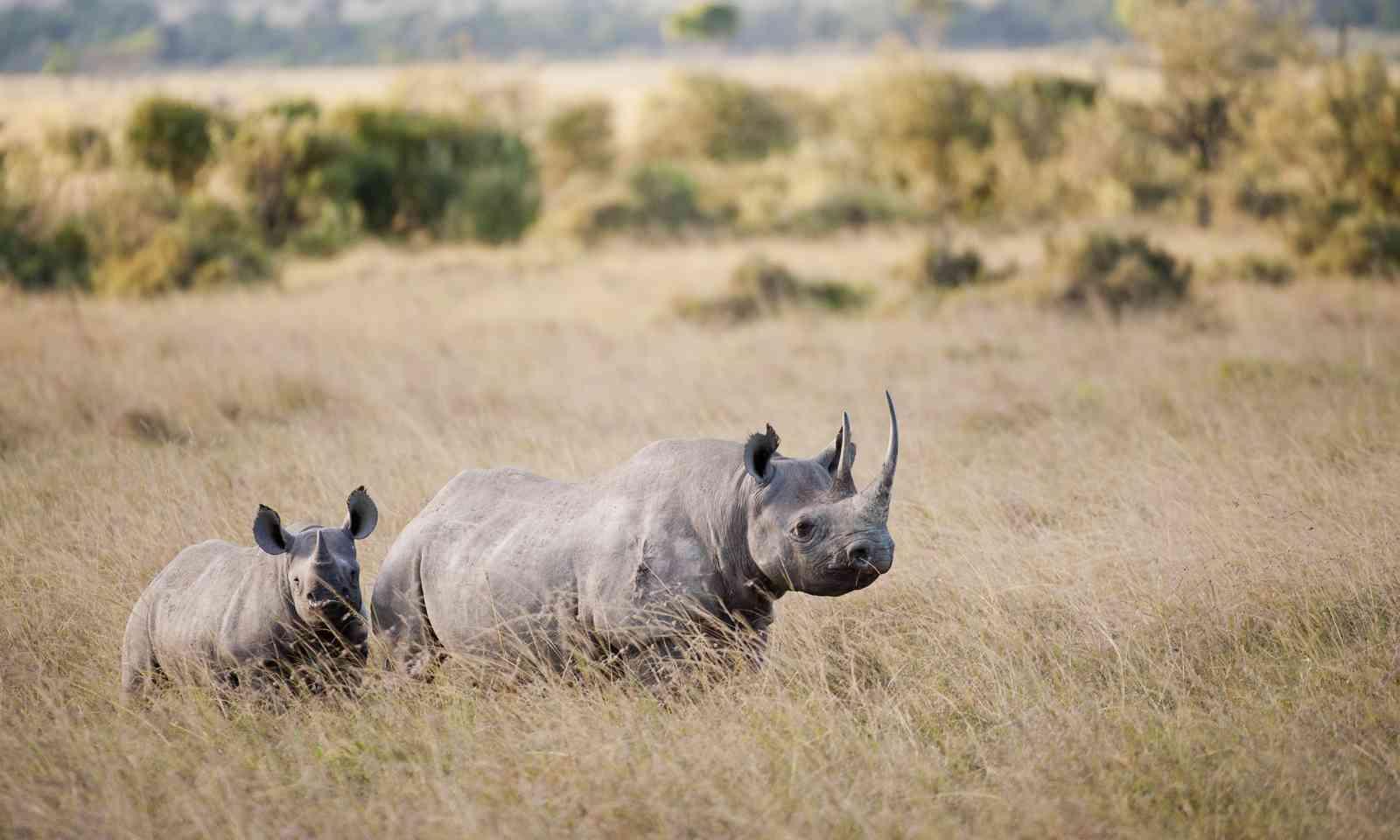 Black rhino and calf in Kenya (Dreamstime)