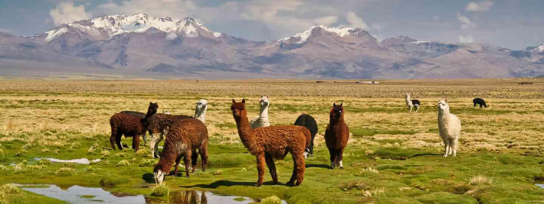 Llamas on grassy Bolivian altiplano (Shutterstock: see main credit below)