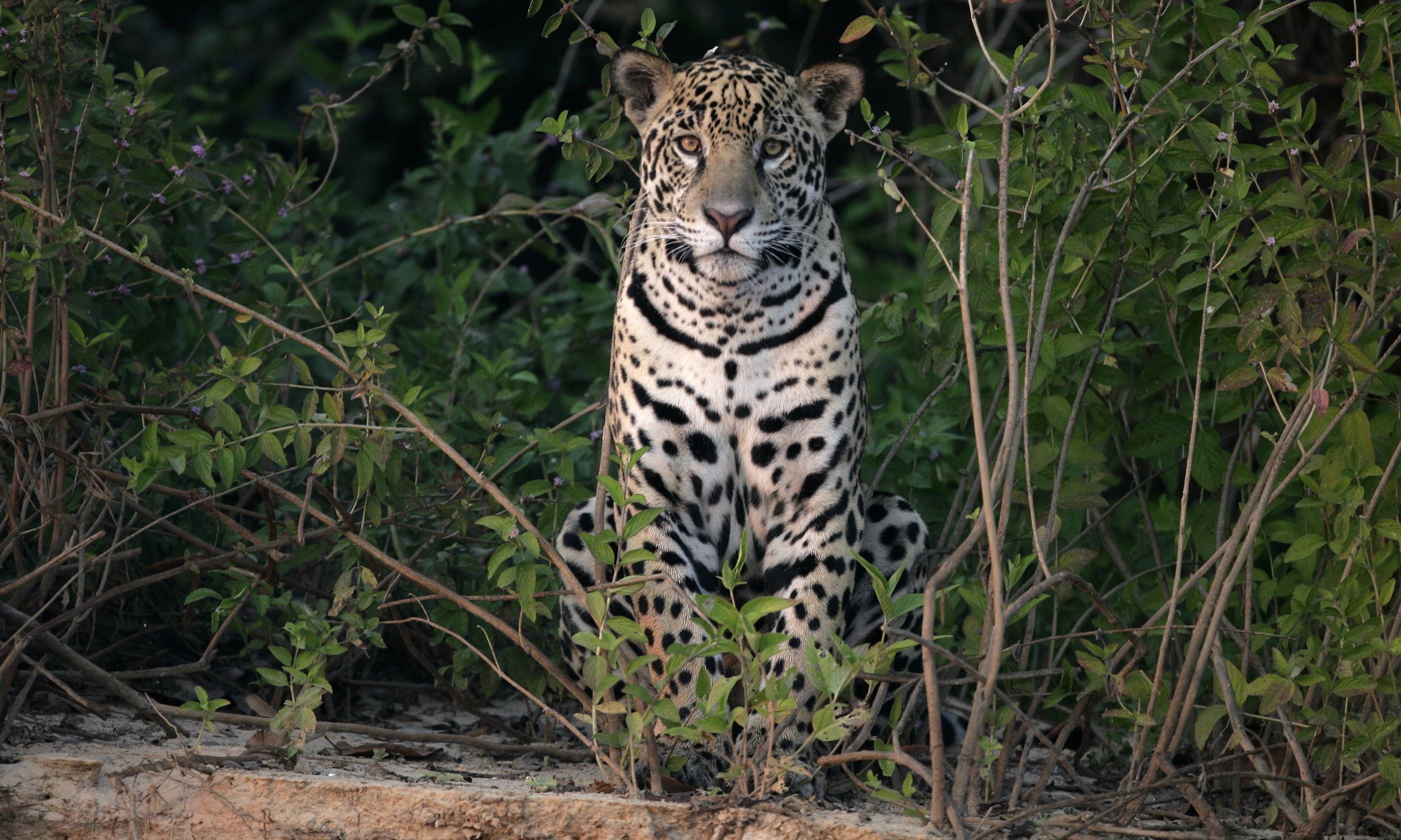 A jaguar in the Pantanal (Dreamstime)