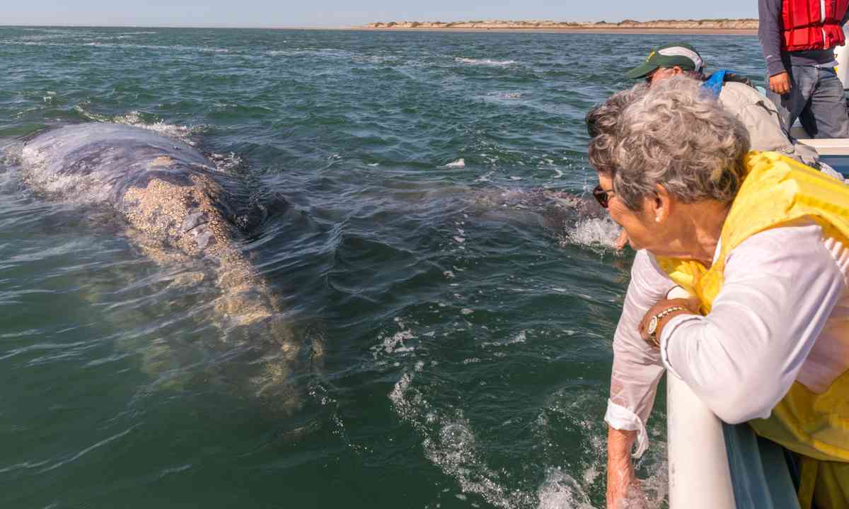 A close encounter with a grey whale in Mexico (Dreamstime)