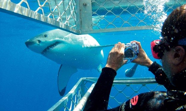 Up close and personal with a great white shark (SATC)