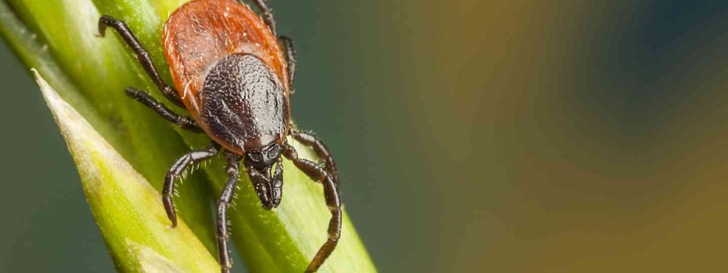 Closeup of a tick on a plant straw (Shutterstock: see credit below)