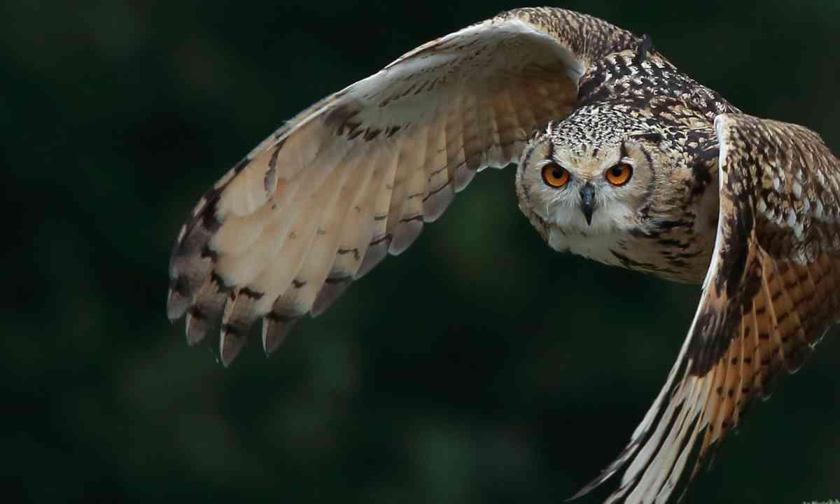 Owl flying (Shutterstock.com)