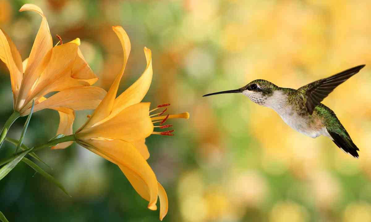 Hummingbird in flight (Shutterstock.com)