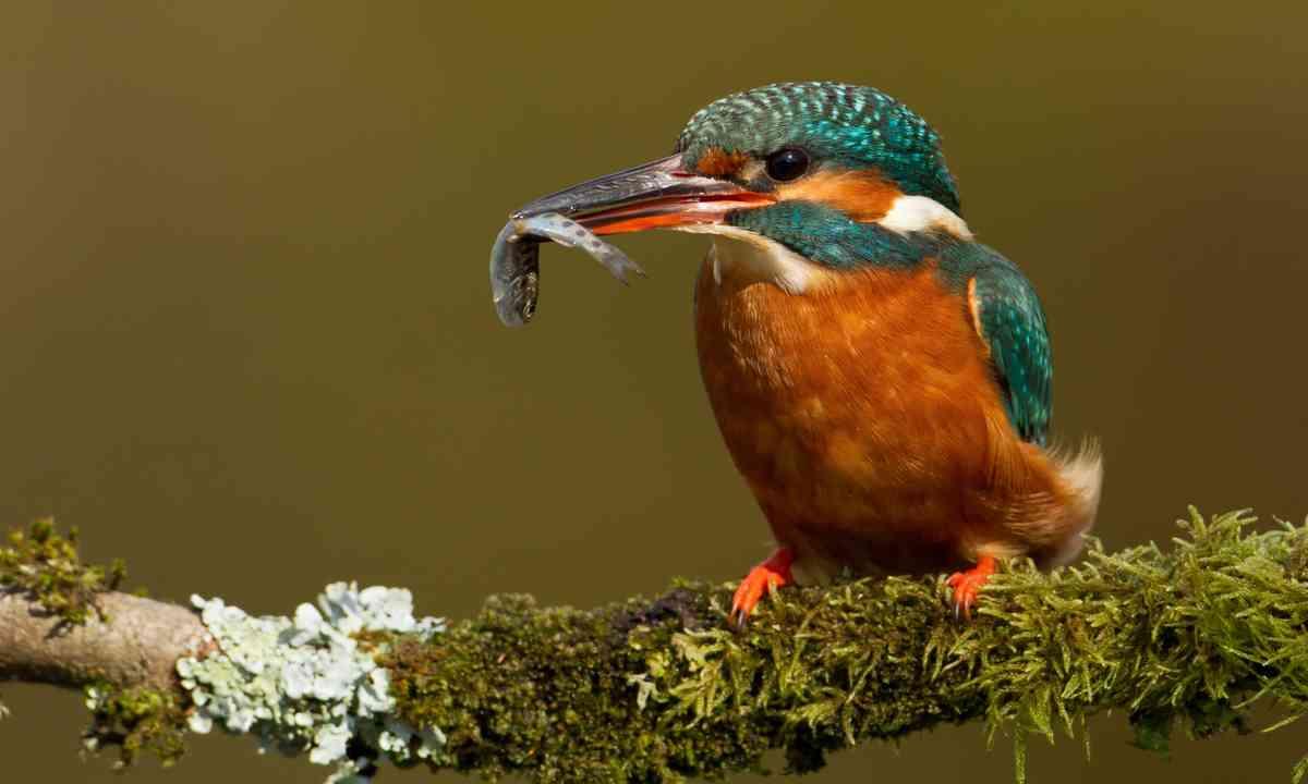 Kingfisher (Shutterstock.com)