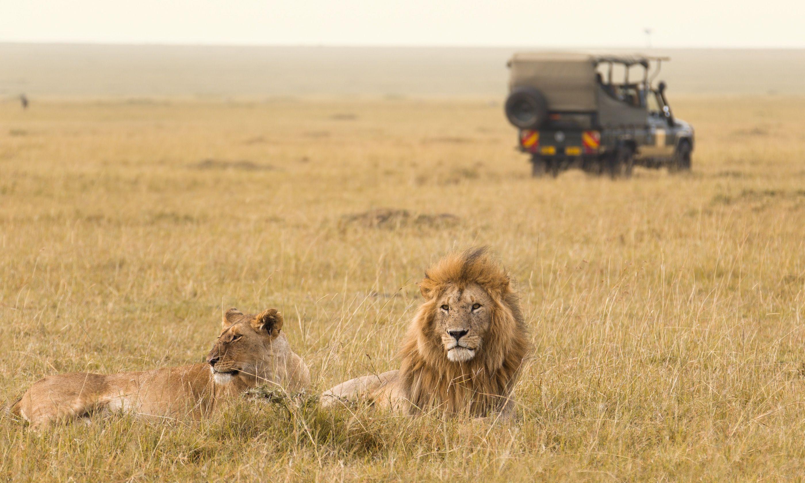 Lions in Kenya (Shutterstock.com)
