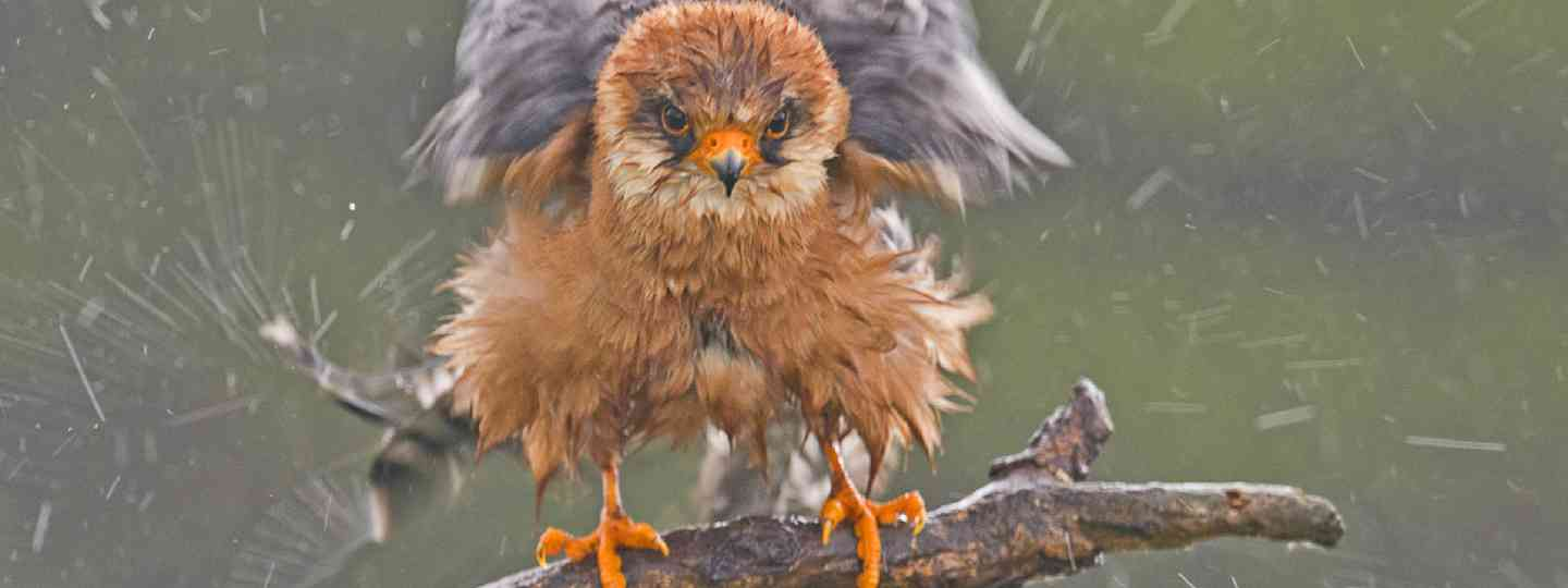 Main image: 2014 Wildlife Winner: Red-footed falcon by John Webster