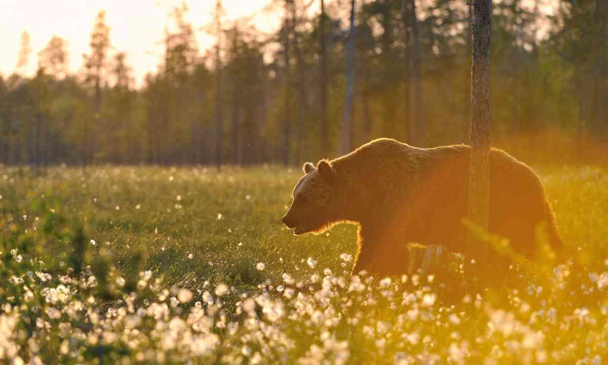 Brown bear at sunset (Shutterstock.com)