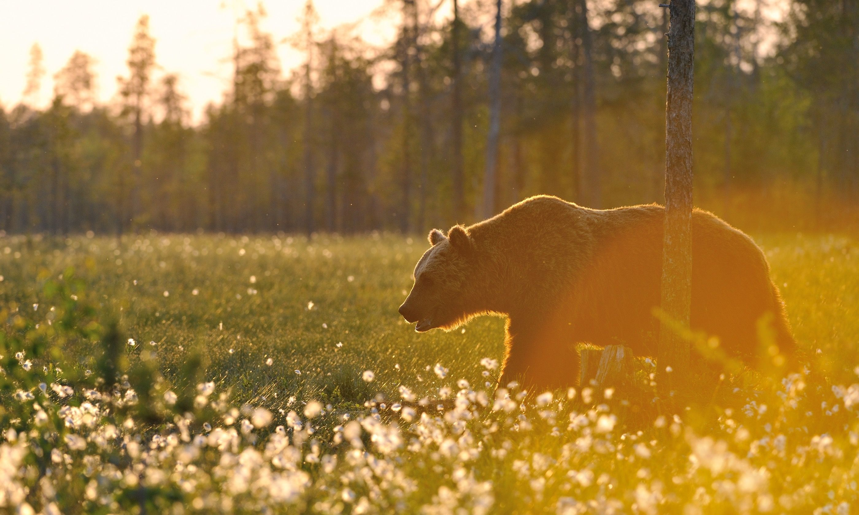 Brown bear at sunset (Shutterstock.com)