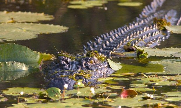 A Saltwater Croc (Tourism NT)