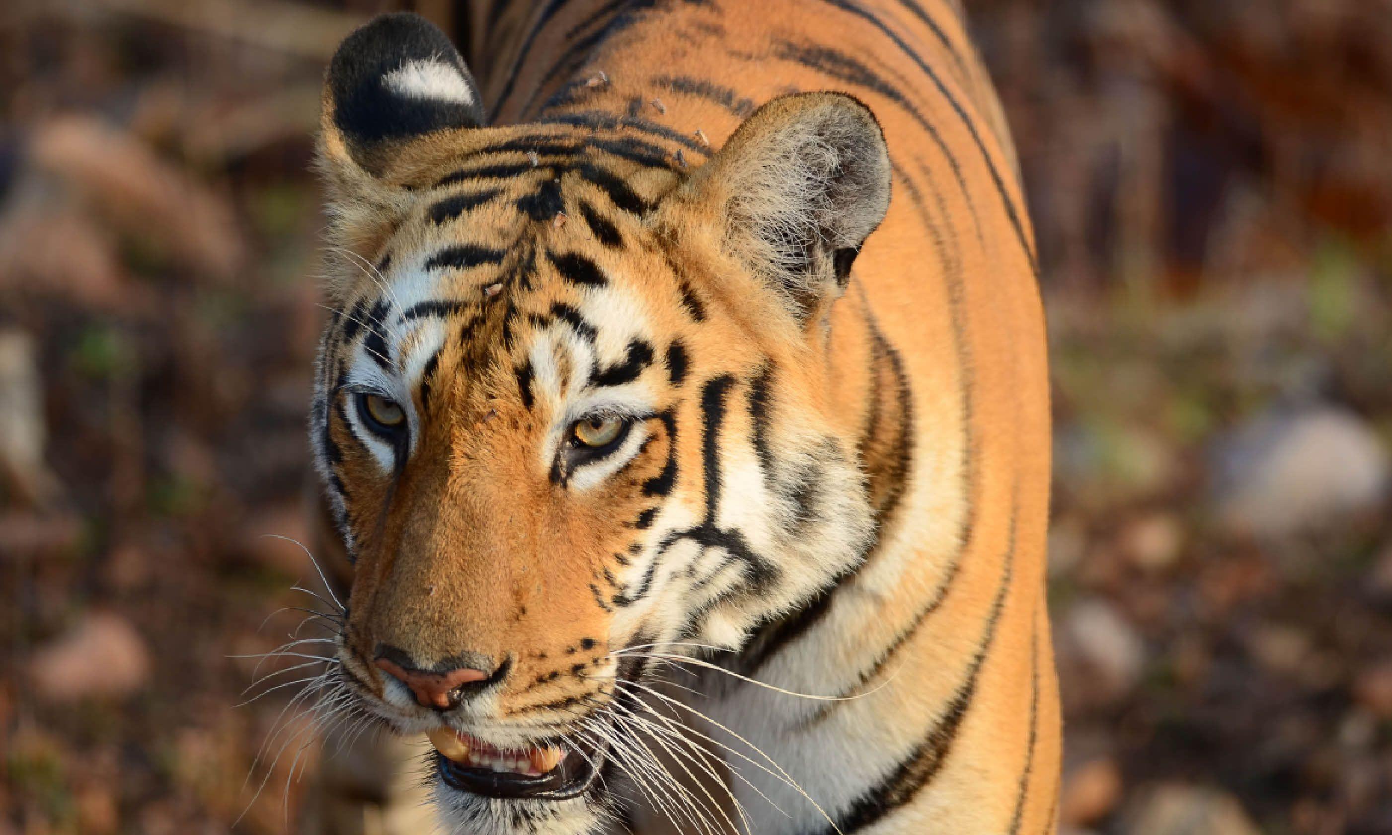 Wild tiger (Dreamstime)