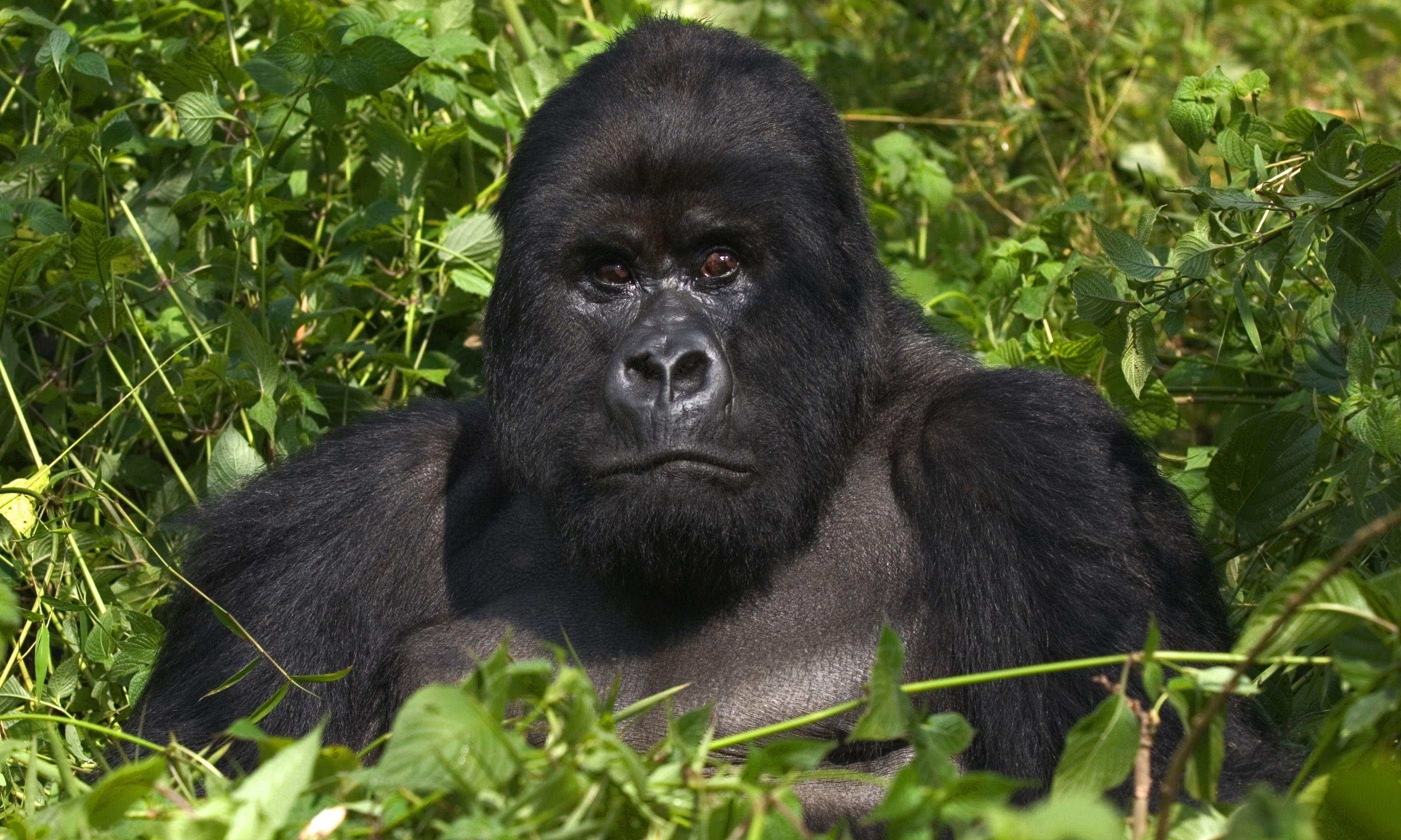 A mountain gorilla in Rwanda (Dreamstime)