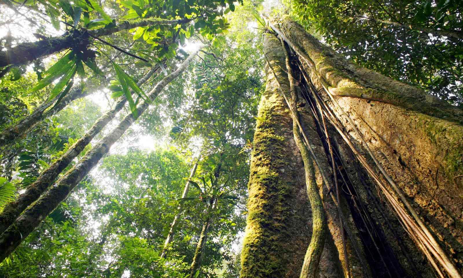 Giant rainforest tree, Ecuador (Shutterstock.com)