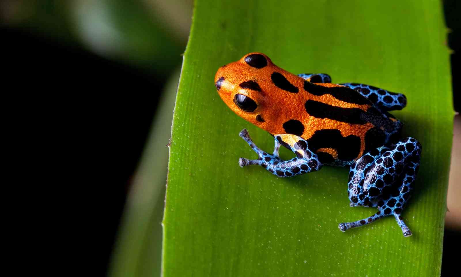 http://www.shutterstock.com/pic-88805893/stock-photo-red-striped-poison-dart-frog-blue-legs-of-amazon-rain-forest-in-peru-poisonous-animal-of-tropical.html