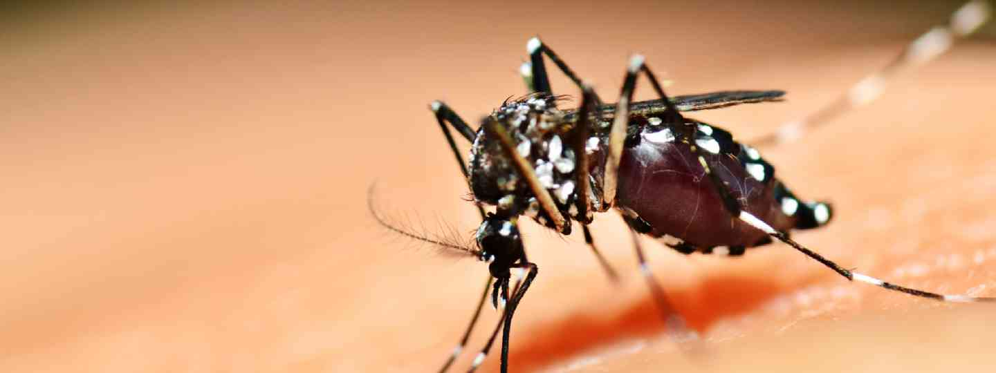 Aedes mosquito (Shutterstock)