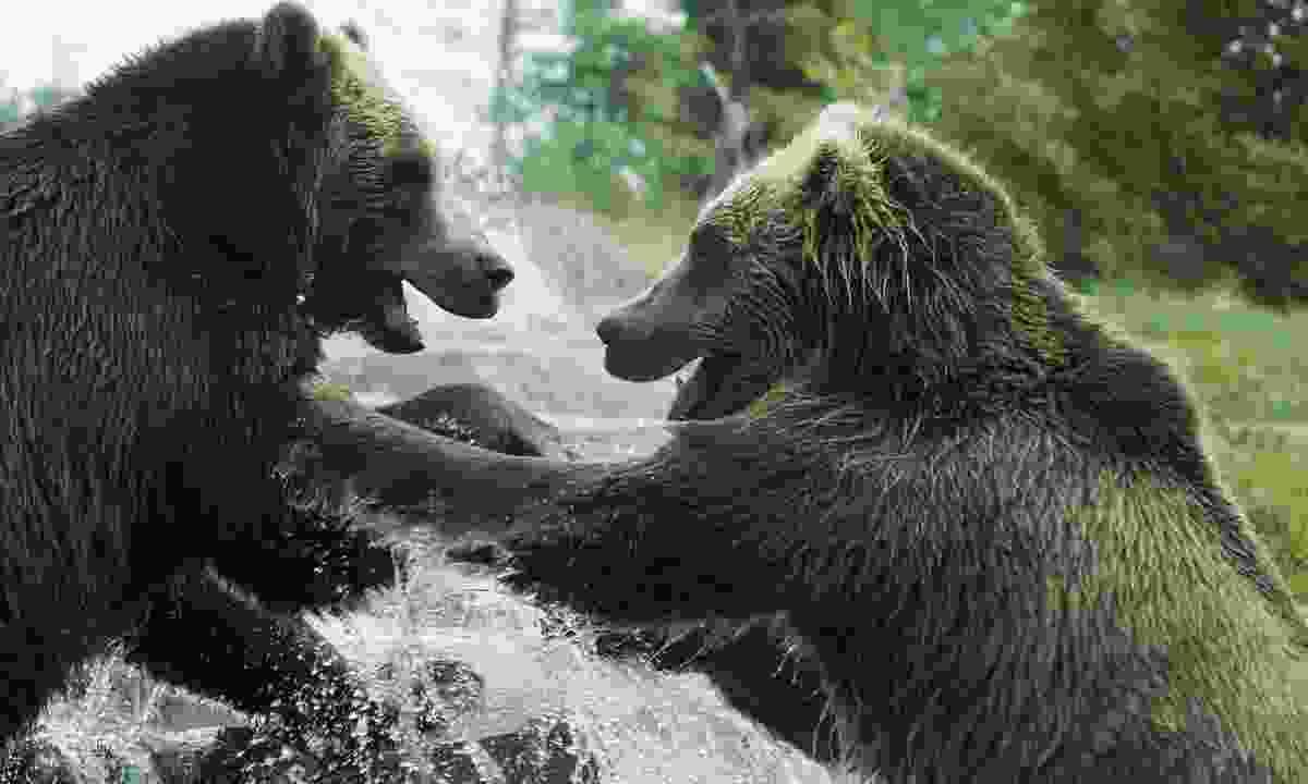 Bears wrestling playfully (Dreamstime)
