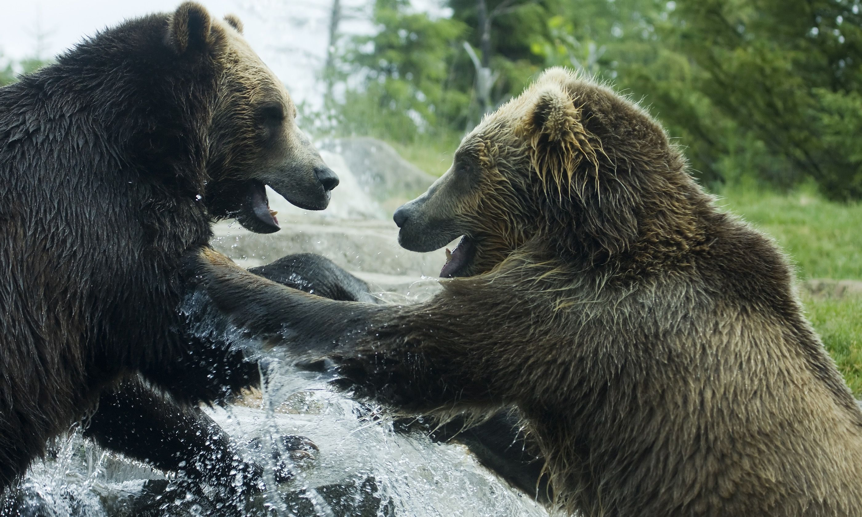 Bears wrestling playfully (Dreamstime)