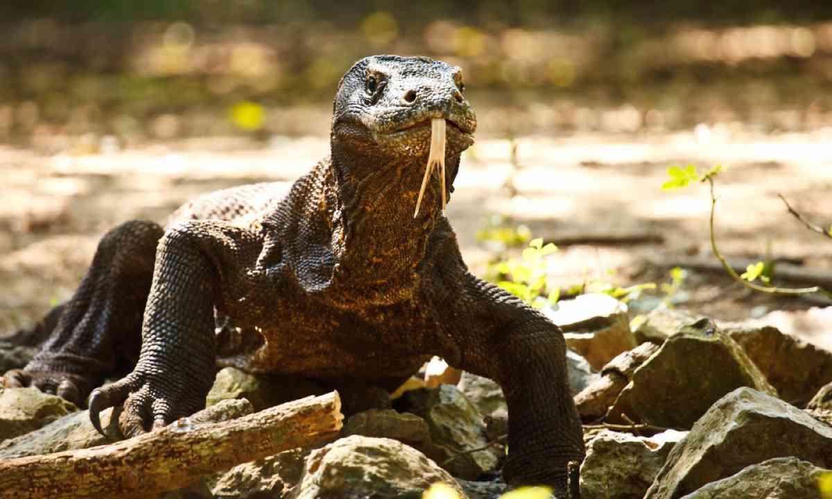 Komodo dragon in Komodo National Park (Dreamstime)
