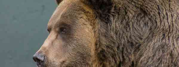 Grizzly bear (Dreamstime)