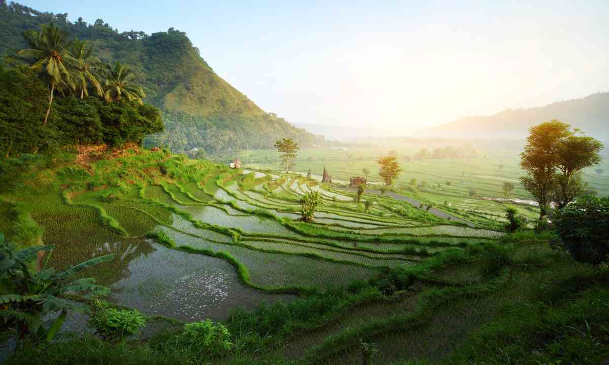 Balinese rice paddies in the morning (Dreamstime)
